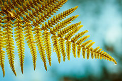 Fern leaf showing spores Royalty Free Stock Image