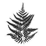 Fern leaf silhouette. Stock Photos