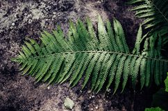Fern leaf on the stone. Green summer fern leaf on the gray stone background, vintage hipster image Royalty Free Stock Images