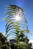 Fern leaf with sun light and blue sky. This fern leaf and sun light at the back with clear blue sky Stock Photo