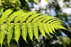 Fern Leaf 1. Under side of Fern leaf translucent under the sun Royalty Free Stock Image