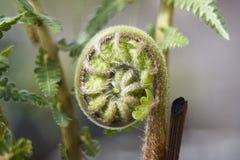 Fern. A Fern leaf unfurling in the spring Stock Photos