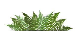 Fern Leaf Vector Background  with White Frame Illustration. EPS10 Royalty Free Stock Photography