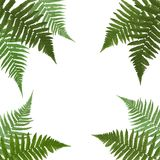 Fern Leaf Vector Background  with White Frame Illustration. EPS10 Royalty Free Stock Photos