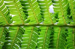 Fern leaf. Ventral side symmetrical at Botanical garden Stock Image