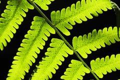 Fern Leaf verde su fondo nero Immagini Stock Libere da Diritti