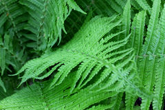 Fern leaf with water drops Royalty Free Stock Photography
