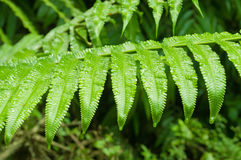 Fern leaf with water drops Royalty Free Stock Images