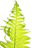 Fern leaf Royalty Free Stock Photos