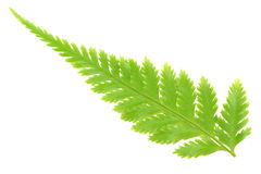 Fern leaf Stock Image
