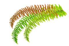 Fern leaf Royalty Free Stock Photo