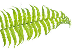 Fern leaf on white background Stock Images