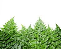 Fern leaf on white background Royalty Free Stock Photos