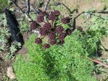 Fern-leafed Desert Parsley - Lomatium dissectum. Fern-leafed Desert Parsley (Lomatium dissectum) in Eastern Washington royalty free stock photography