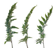 Fern leafs Royalty Free Stock Images