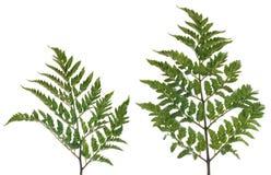 Fern leafs Royalty Free Stock Photos