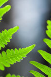 Fern leafs Royalty Free Stock Image