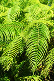Fern leafs Stock Images