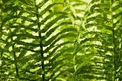 Fern leafs background Royalty Free Stock Images