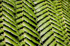 Fern leafs Royalty Free Stock Photos