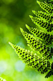 Fern leafs with spores Stock Image