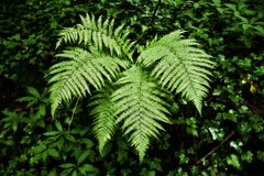 Fern Leave in the Forest. Taken in 2015 Royalty Free Stock Photo