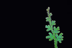 Fern leave Royalty Free Stock Photos