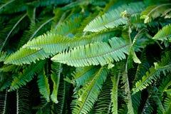 Fern Leave Pattern vert luxuriant dans le sauvage Photos libres de droits