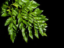 Fern leave with water drops Royalty Free Stock Images