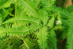 Fern Leaves. In a jungle Stock Photography
