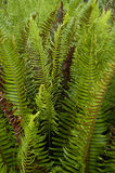 Fern leaves. A group of fern leaves growing naturally in the forest on the West Coast of Vancouver Island royalty free stock image
