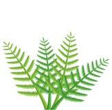 Fern leaves. Design of green fern leaves Stock Photos