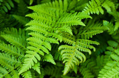Free Fern Leaves Royalty Free Stock Image - 16310316
