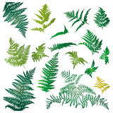 Fern leaves. Illustrated in a set of design elements Royalty Free Stock Images