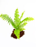 Fern leaves. Over white background Royalty Free Stock Photography