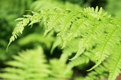 Fern leaves. Juicy green fern leaves from Finland Royalty Free Stock Image