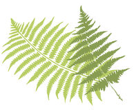 Fern leaves. Green fern leaves vector illustration Royalty Free Stock Photo