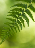 Fern Leaves. Closeup of green fern leaves Stock Image
