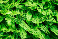 Fern leaves. Close-up of fern leaves, suitable for background Royalty Free Stock Photo