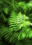 Fern leaves. Full frame rich deep green ferns with spotlight effect on them Royalty Free Stock Photography
