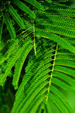 Fern Leaves Arkivfoto