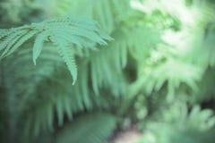 Fern Leaves Imagem de Stock