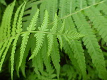 Fern Leaves Stockfoto