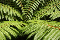 Fern Leaves Photographie stock