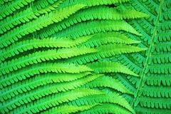 Fern Leaves Imagenes de archivo