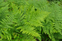 Fern Leaves Image libre de droits