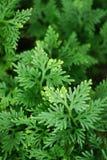 Fern Leaves. Green leaves Fern species: Selaginella : :Selaginellaceae (Vertical Royalty Free Stock Images