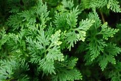 Fern Leaves. Green leaves Fern species: Selaginella : :Selaginellaceae (Horizontal Royalty Free Stock Photos