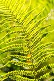 Fern Leaves Photos libres de droits