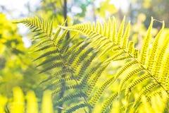 Fern Leaves Image libre de droits